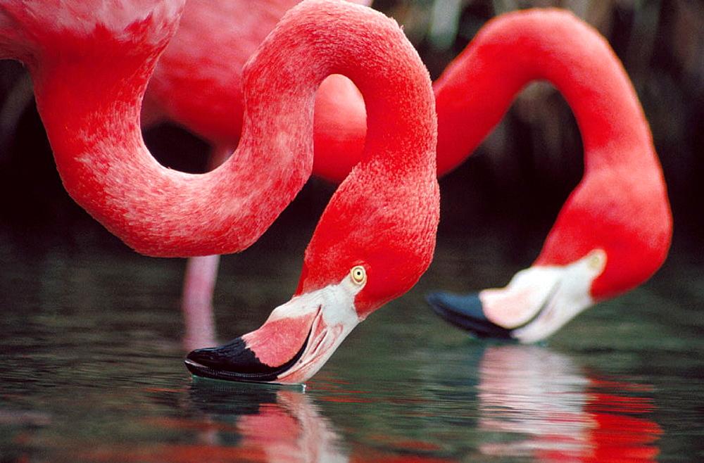 Greater Flamingos (Phoenicopterus ruber)