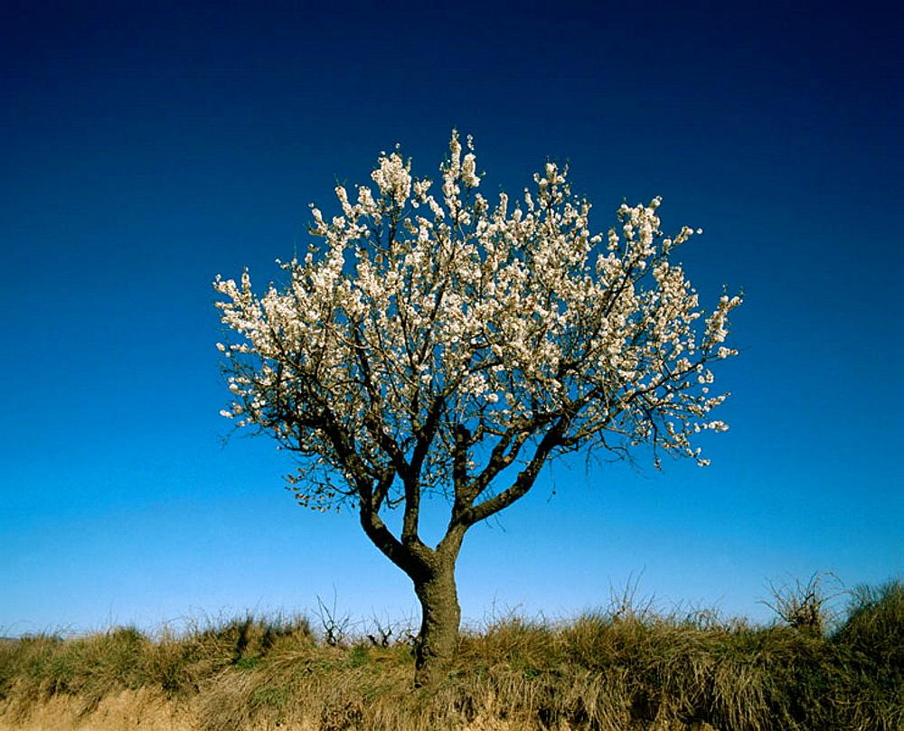 Almond tree, Tarragona province, Cataluna, Spain.