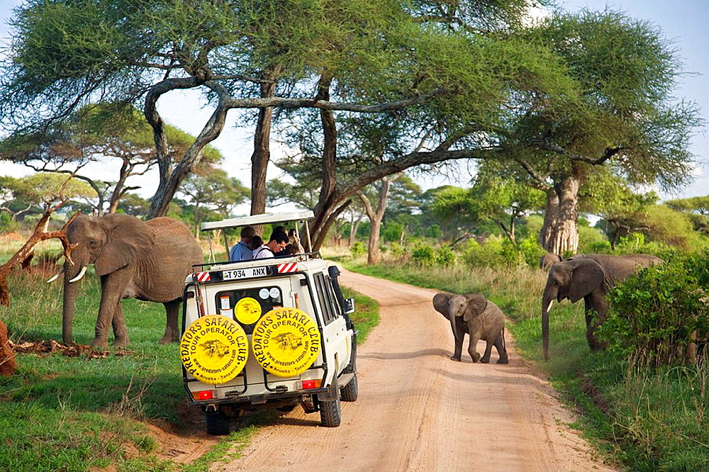 Elephants (Loxodonta africana) crossing the road in front of a safari vehicle in Tarangire National Park, Tanzania, Africa - 817-204179
