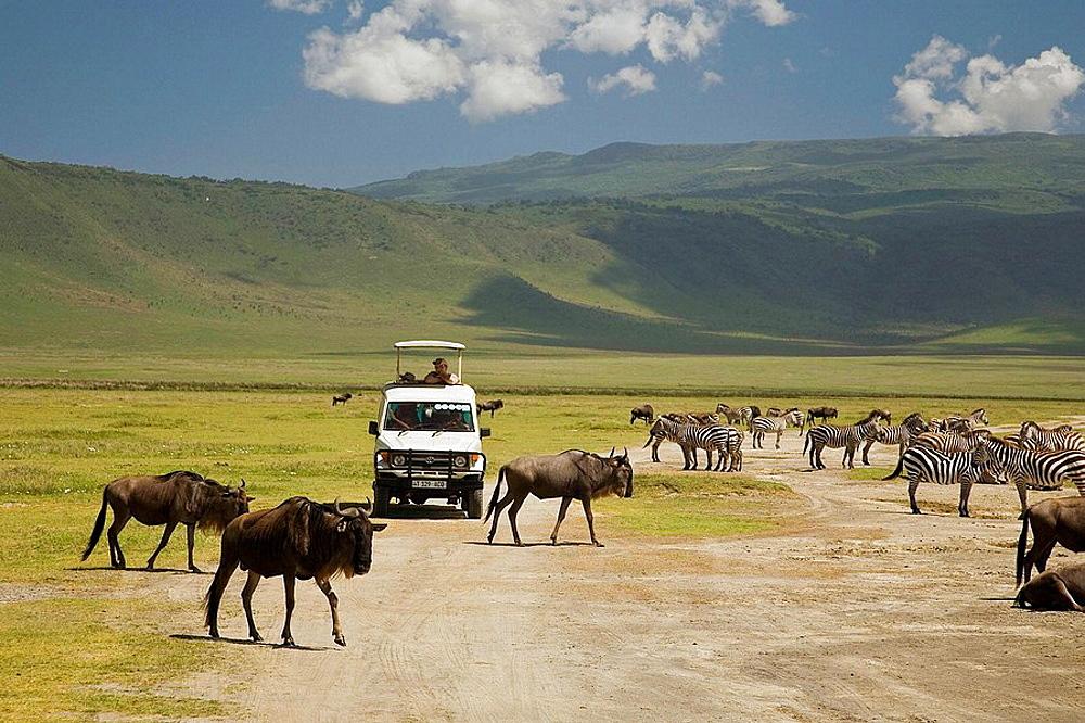 Wildebeest and zebras in the crater floor, Ngorongoro crater, Tanzania - 817-204189