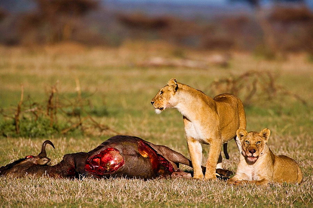 Two lionesses (Panthera leo) guarding their kill in the Serengeti National Park, Tanzania, Africa