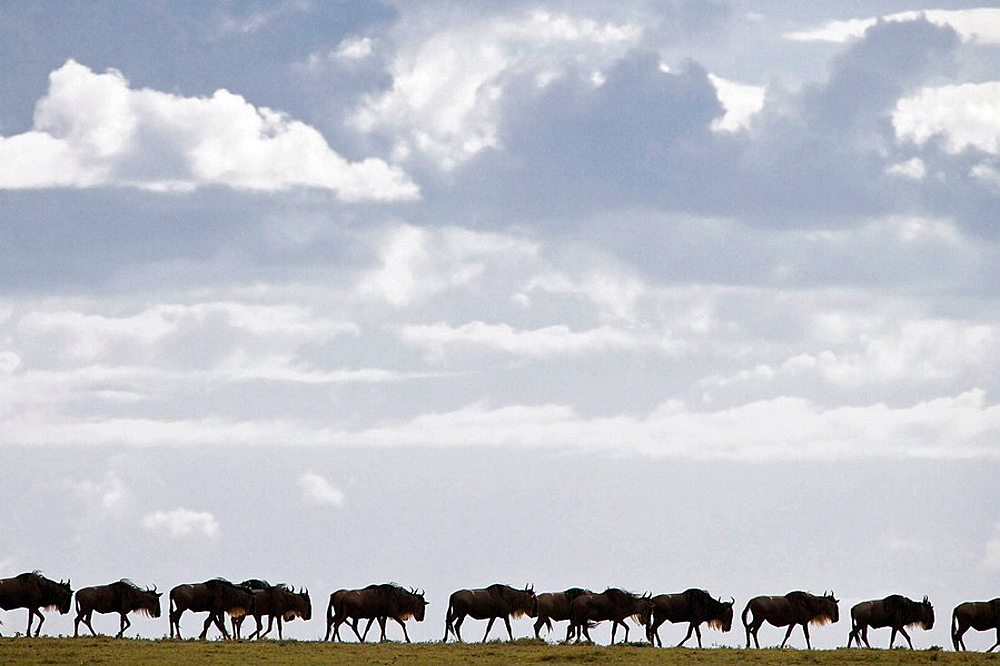 Wildebeest herd migrating in the Serengeti National Park in Tanzania, Africa - 817-204193