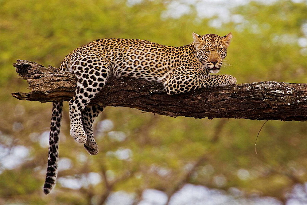 Leopard (Panthera pardus) resting on tree in the Serengeti National Park, Tanzania, Africa