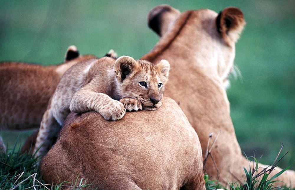Lions (Panthera leo), Masai Mara, Kenya