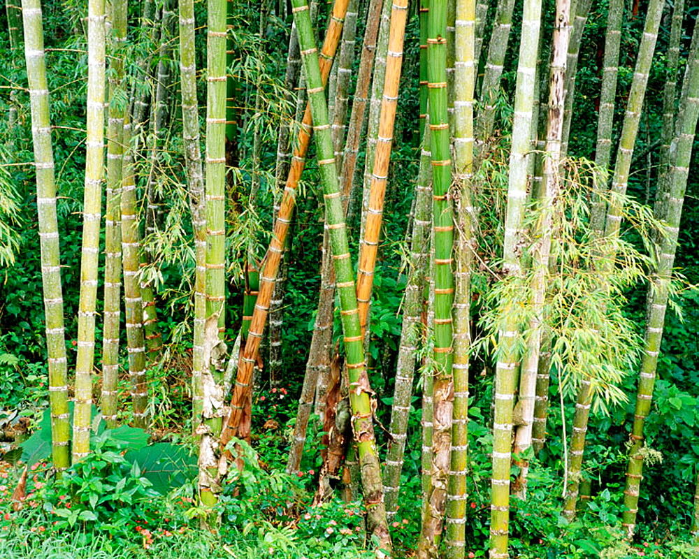 Bamboo forest, Colombia.