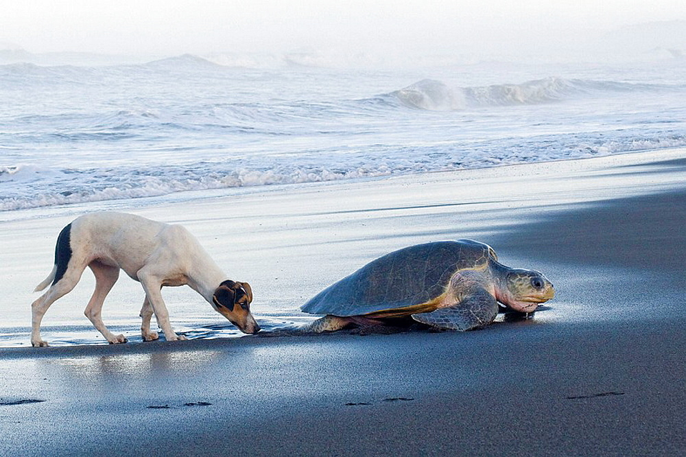 Female olive ridley sea turtle (Lepidochelys olivacea) harassed by a feral dog while climbing onto land to lay her eggs; photographed in Costa Rica.