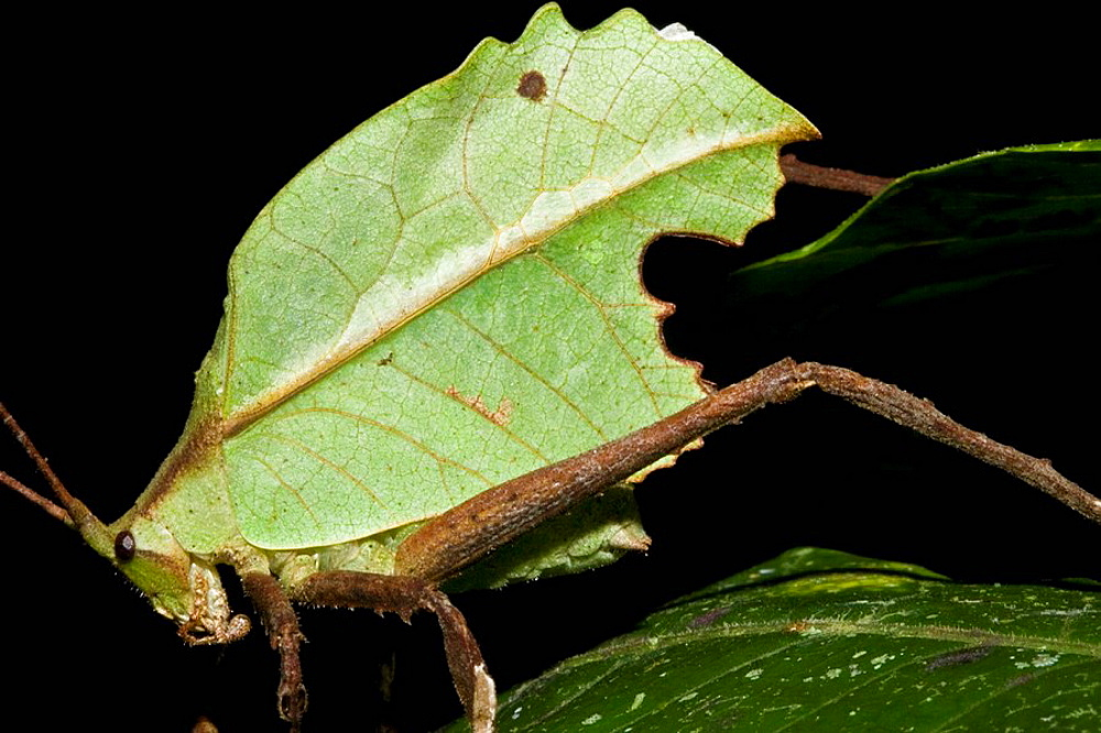 Well-camouflaged katydid (bush cricket) at night in the lowland tropical rainforests of Costa Rica.