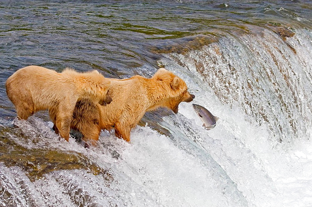 Brown Bear and her cub catching salmon in Katmai National Park, Alaska, USA