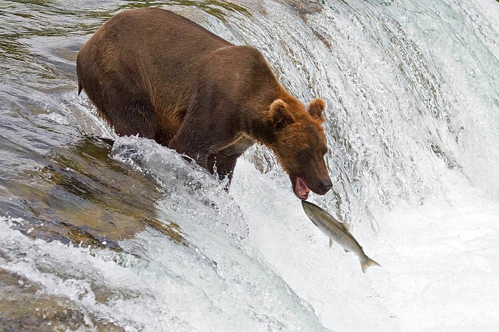 Alaskan Brown Bear catching a fish in Katmai National Park in Alaska, USA