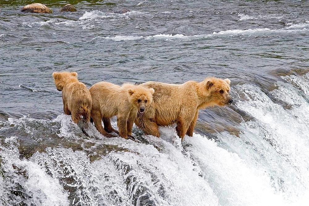 Brown Bear and her cubs in Katmai National Park, Alaska, USA