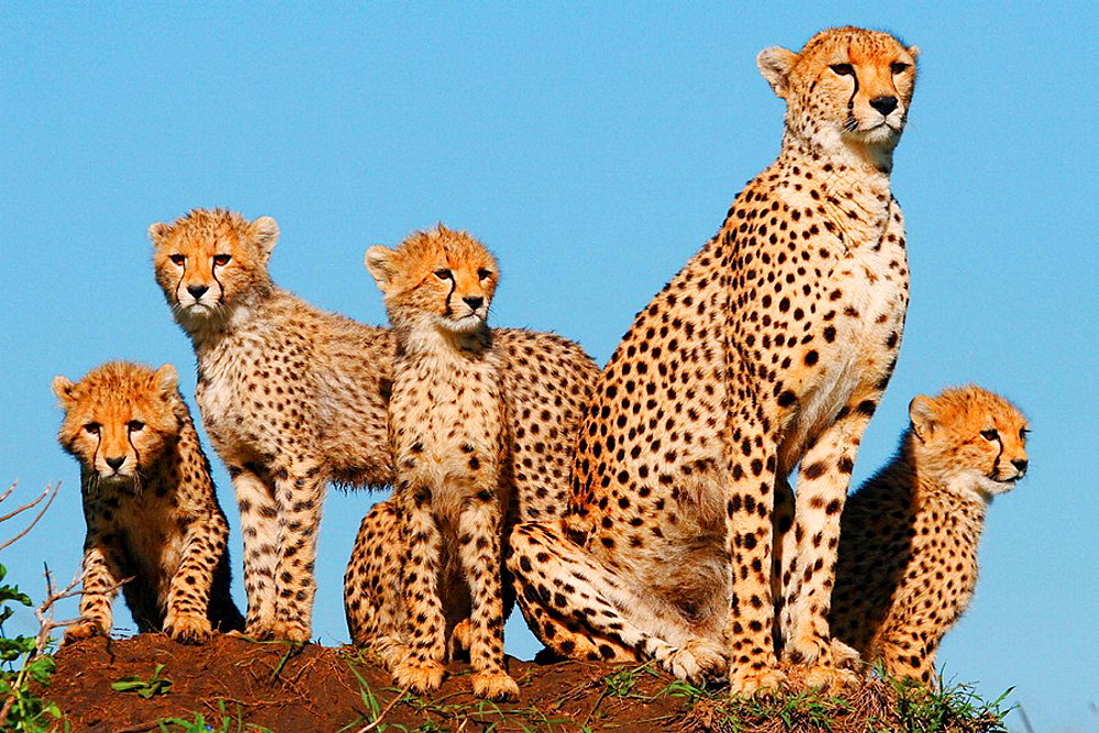 Mother cheetah and cubs on a termite mound in the Masai Mara, Kenya - 817-207061