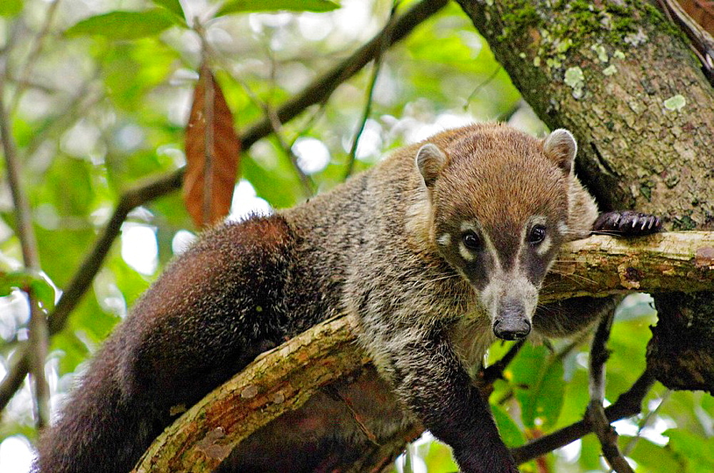Coati mundi on tree, Guatemala