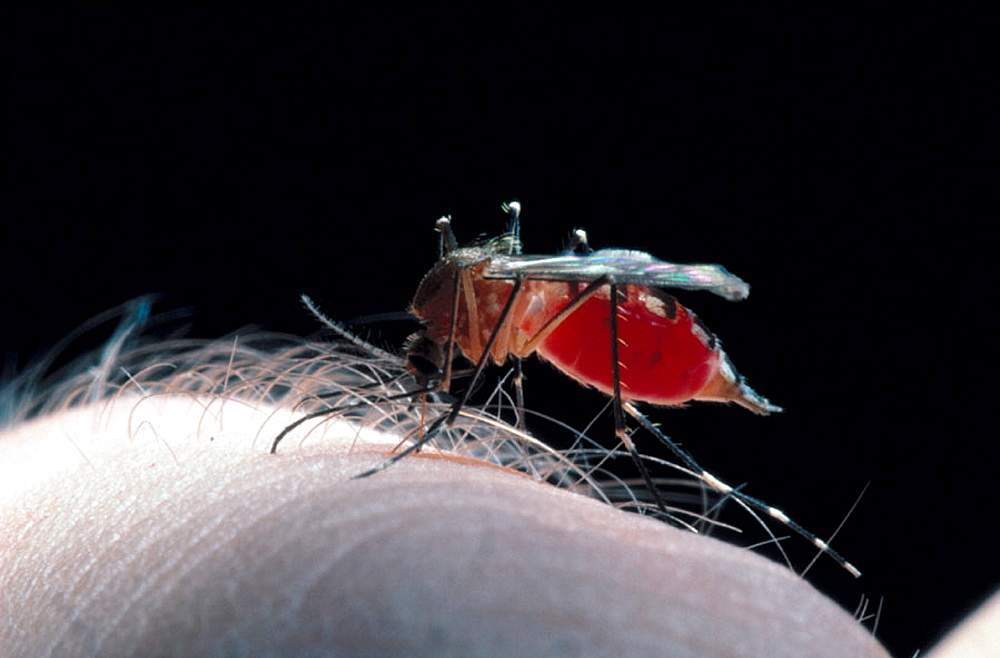 Mosquito sucking blood, Biting human arm a female mosquito is getting engorged with blood, She will use this nourishment to generate eggs