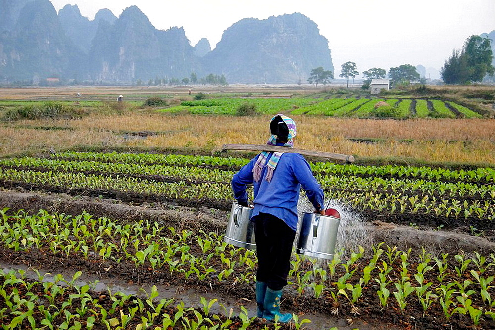 Female farmer watering the crops with two watering cans in Bai Dai, Bai Tu Long, Vietnam - 817-212111