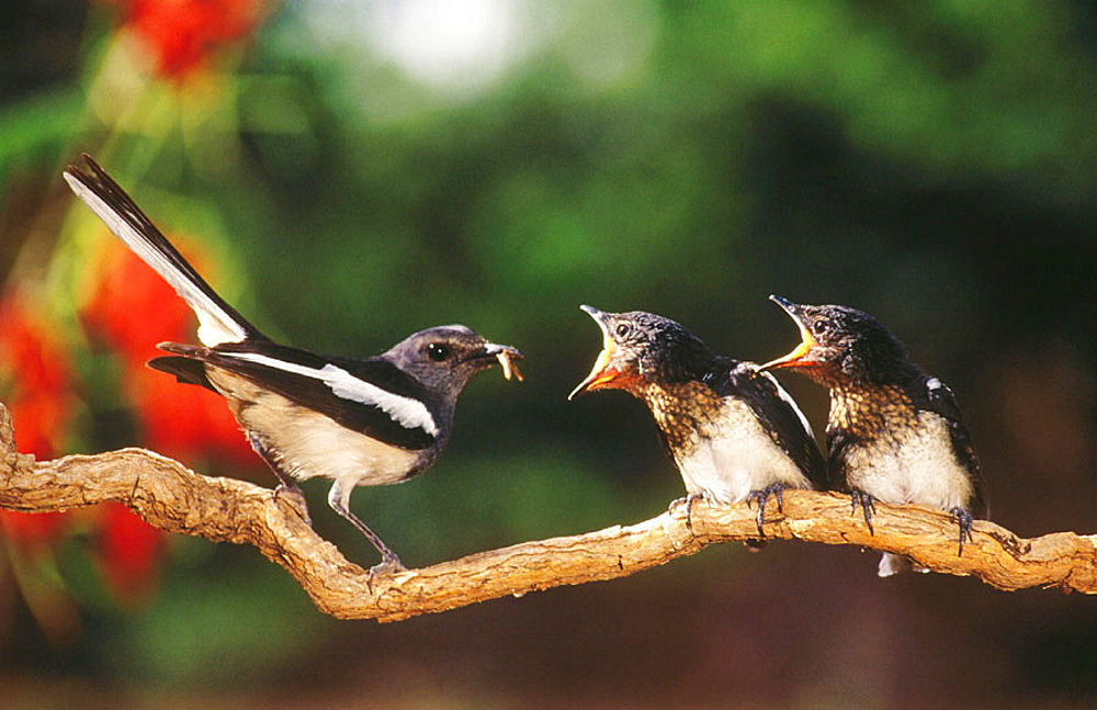 Magpie Robin (female) feeding young, Outskirts of Bangalore, Kanakapura Road,30kms, from Bangalore (may) - 817-21223