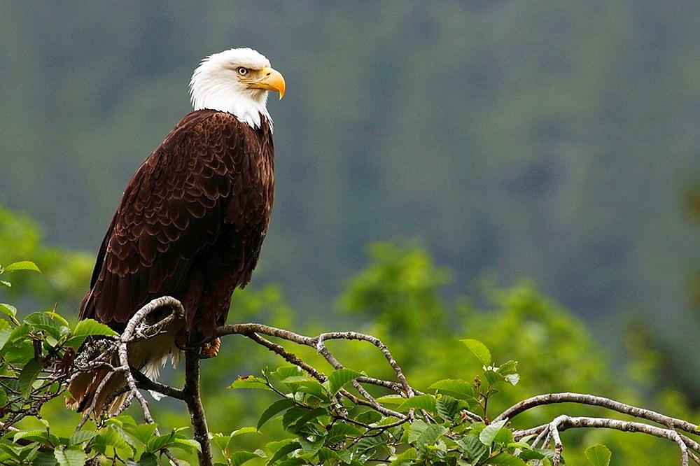 Weisskopfseeadler / Bald Eagle / Haliaeetus leucocephalus