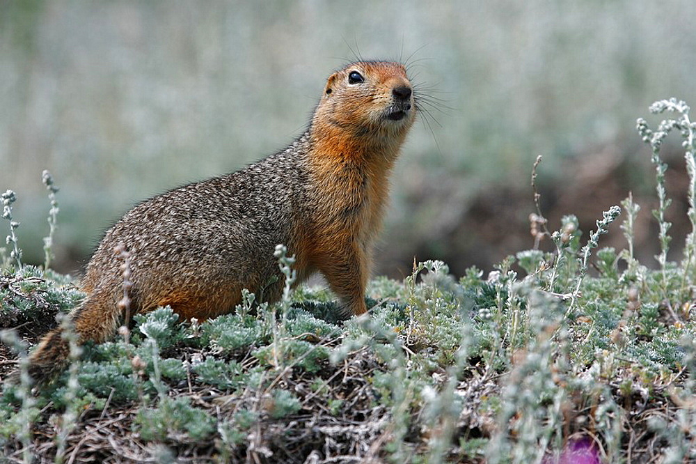 Arktisches Erdhornchen / Artic Ground Squirrel / Citellus undulatus / Kluane-Nationalpark, Kluane National Park and Reserve, Kanada, Canada, USA