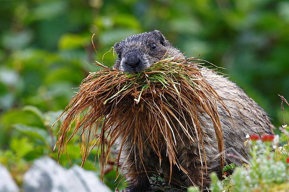 Eisgraues Murmeltier / Hoary Marmot / Marmota caligata / Mount Roberts,Juneau, Alaska, USA