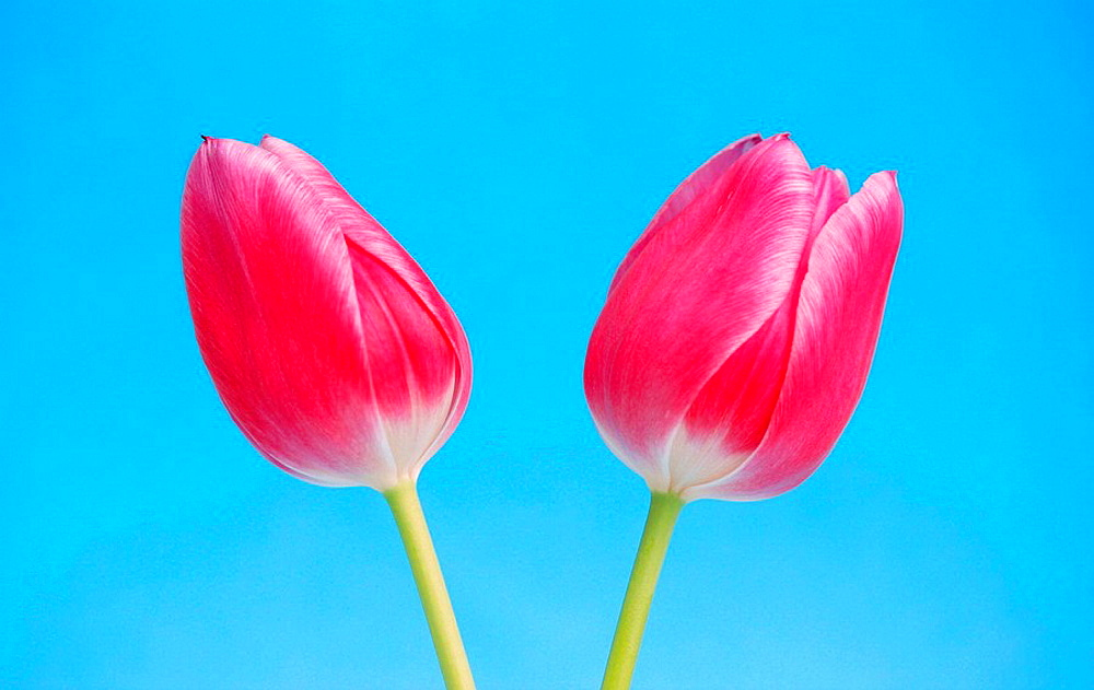 Two rose Tulips Tulipa blossoms on light blue background