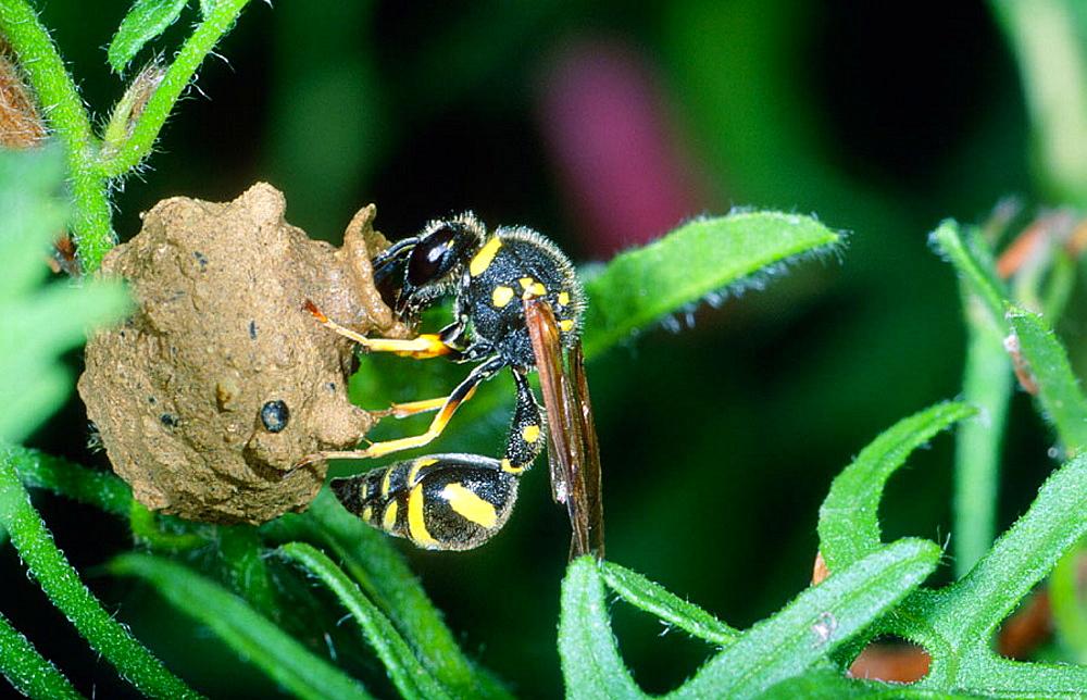 Mason Wasp (Eumenes sp.) Closing its nest