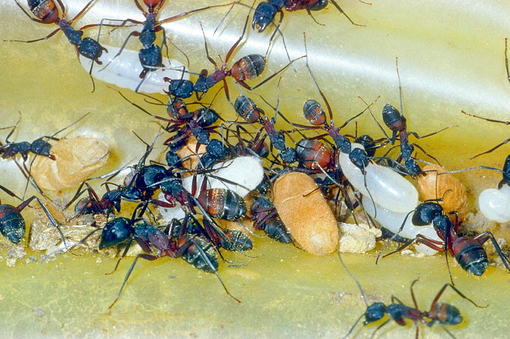 Ants (Camponotus cruentatus) carrying eggs, larvae and pupae