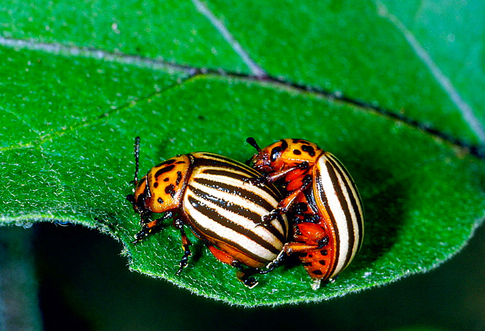Colorado Potato Beetle (Leptinotarsa decemlineata) mating, insect pest