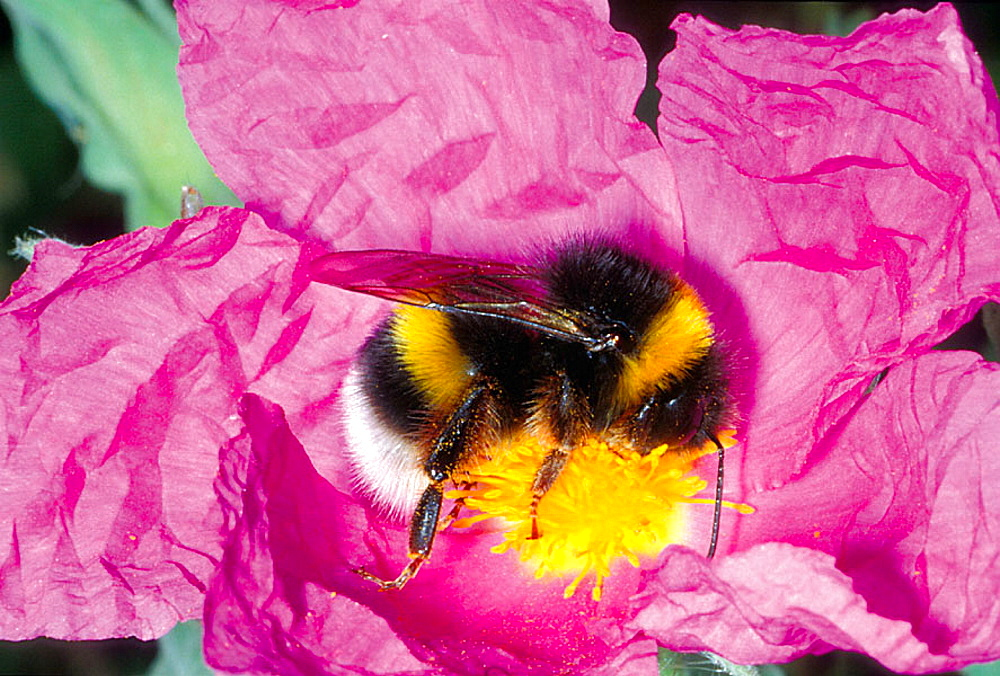 Bumble Bee (Bombus terrestis) Collecting nectar on flower - 817-213473