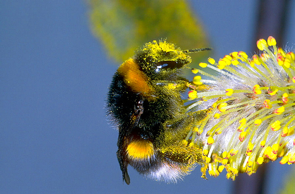 Bumble-bee (Bombus terrestris) - 817-213508