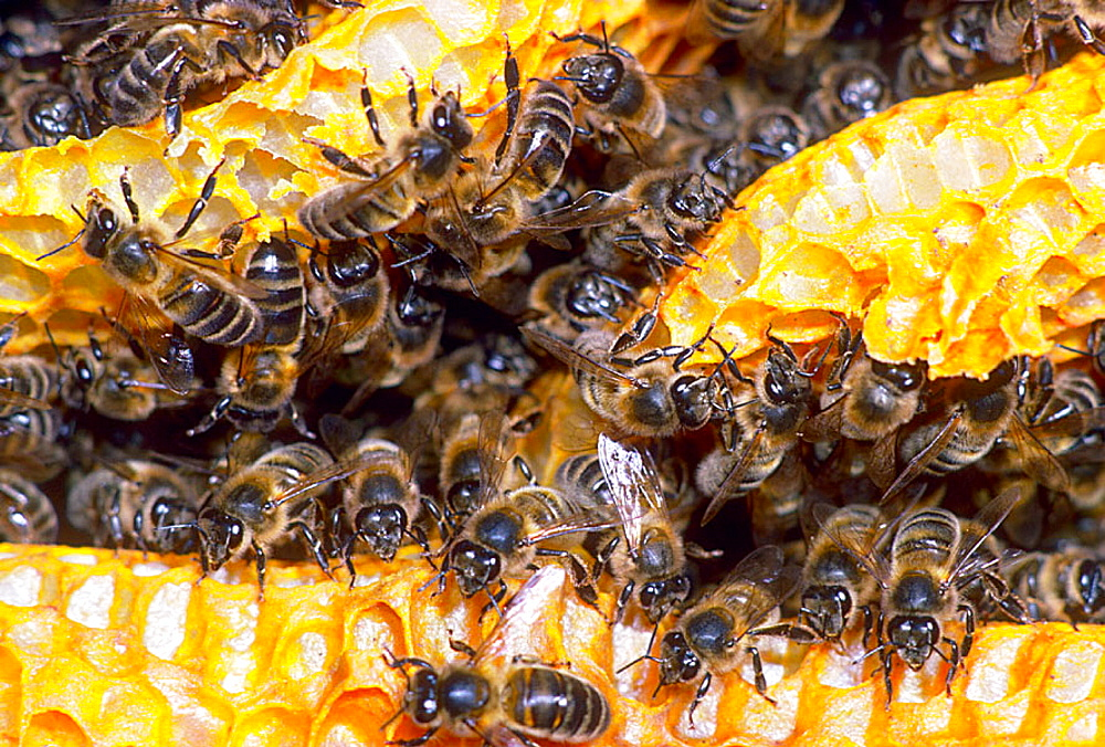 Honey Bees (Apis mellifera) in honeycomb - 817-213534