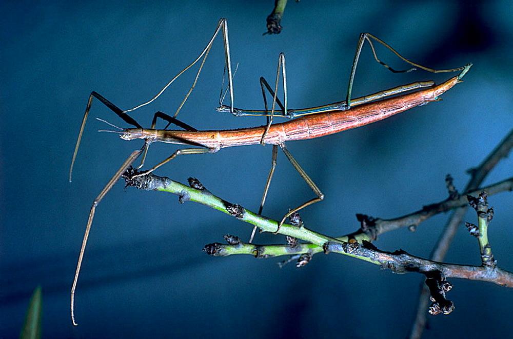 Stick insect (Bacillus rossius) - 817-213541