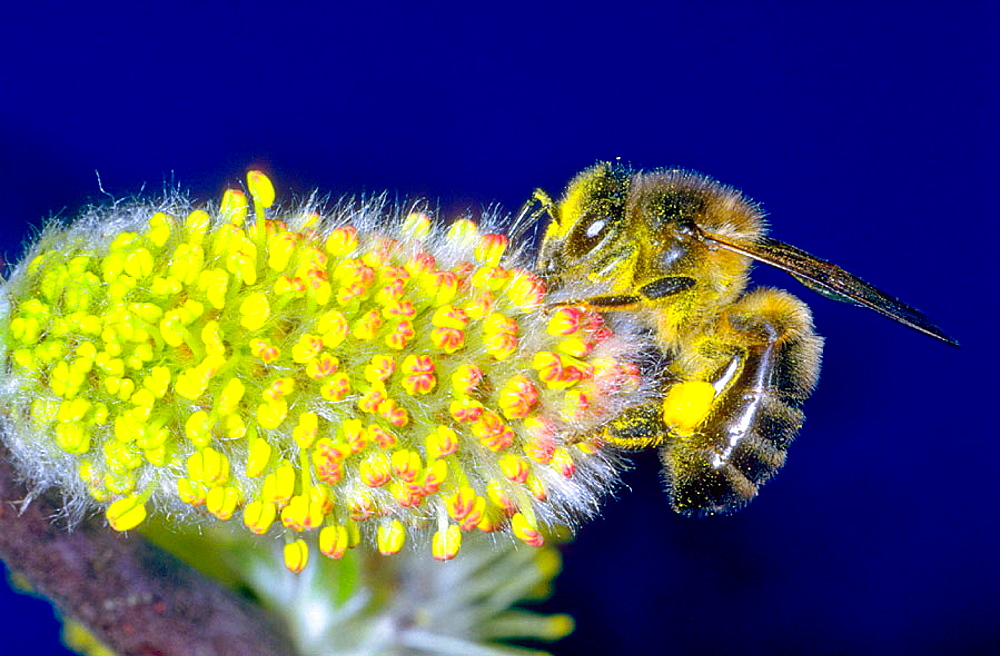 Honeybee (Apis mellifera) collecting nectar from flower