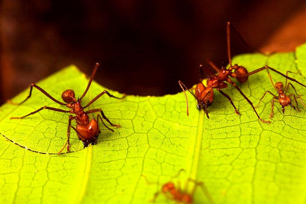 Leaf-cutter ants Atta cephalotes cutting leaf fragments in Costa Rica
