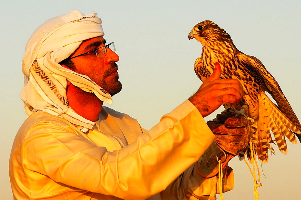 Hunting falcon perched on the hand of the falconer, Falcon training in Dubai, United Arab Emirates, UAE