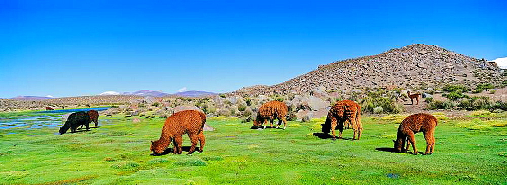 Alpaca Vicugna pacos in the Chilean Altiplano, Andes Mountains, South America are grazing in their pasture the Bofedal swampy plains  Parinacota, Lauca National Park, Chile, Febraury 2002