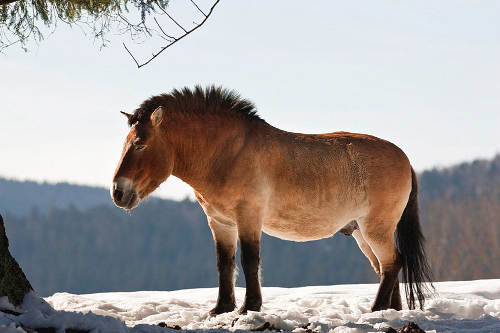 Przewalskis Horse or Takhi Equus ferus przewalskii in winter and snow, captive This herd is part of an international breeding program for this last ture wild horse and descends from the surviving animals in the Munich Zoo Hellabrunn Europe, Germany,