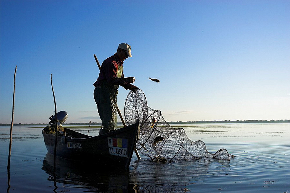 Fishermen bring in their harvest of fish from a fish trap in the Danube Delta, Romania in early morning     Tulcea, Danube Delta, Romania, Europe - 817-217674