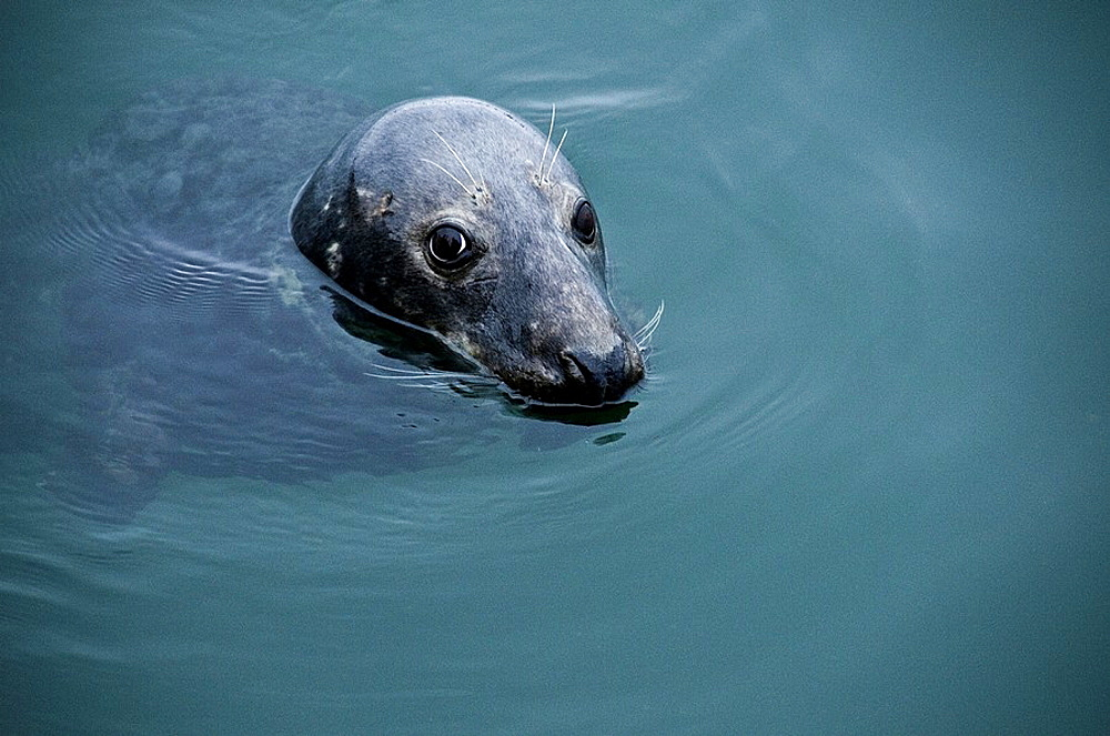 Friendly seal with big brown eyes in Chatham, Cape Cod, Massachusetts