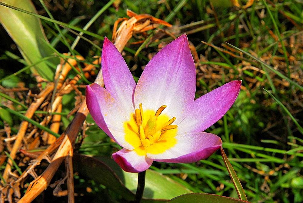 The Bakers Tulip (Tulipa bakeri), an endemic plant of western Crete