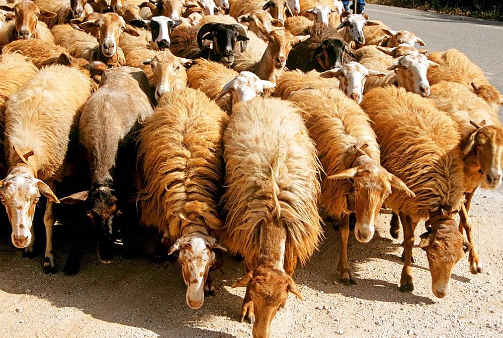 Flock of sheep walking along road, Kefalonia, Greece
