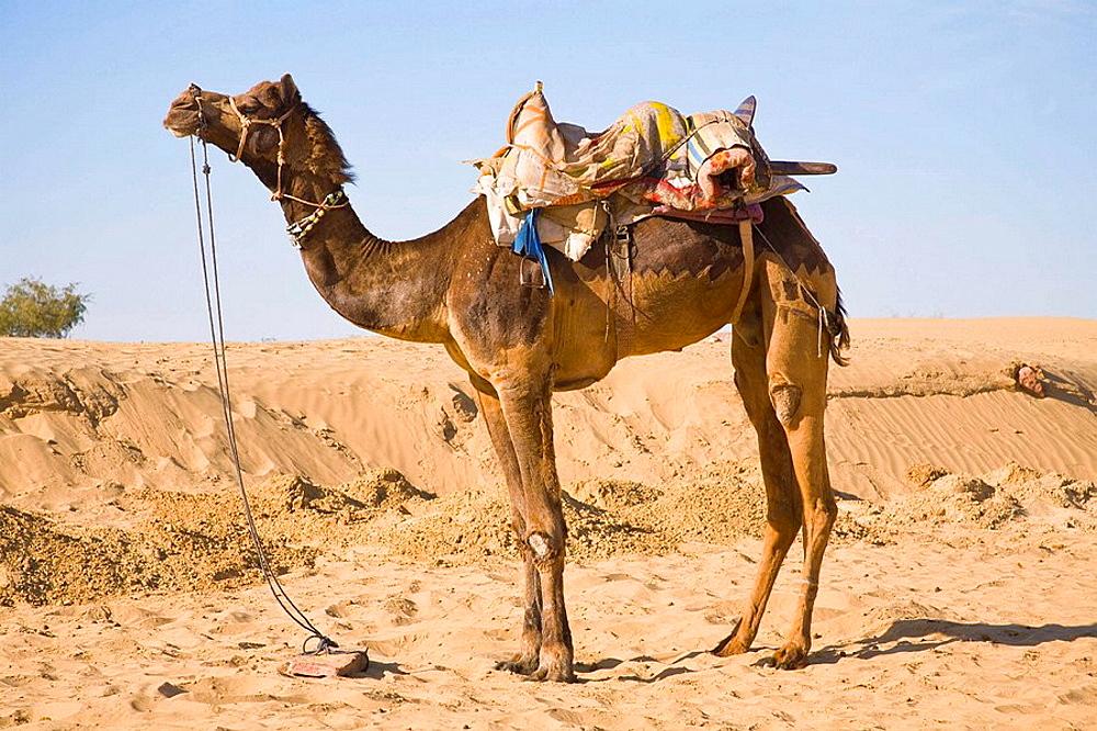 Camel at Osian Camel Camp, Osian, Rajasthan, India