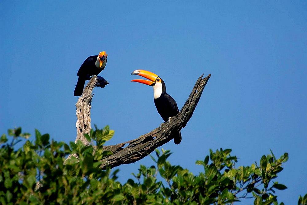 Toco Toucan, Ramphastos toco, Pantanal, Mato Grosso, Brazil