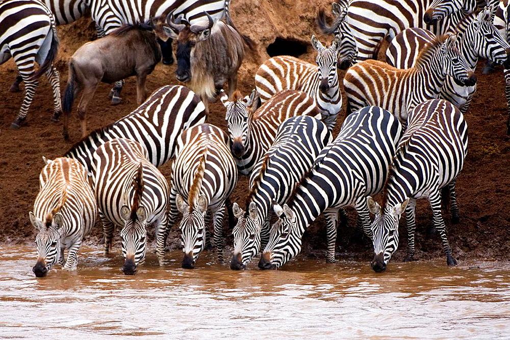 Burchell's Zebras or Plains Zebras (Equus burchellii) crossing the Mara river; Masai Mara National Park, Kenya, East Africa - 817-226342
