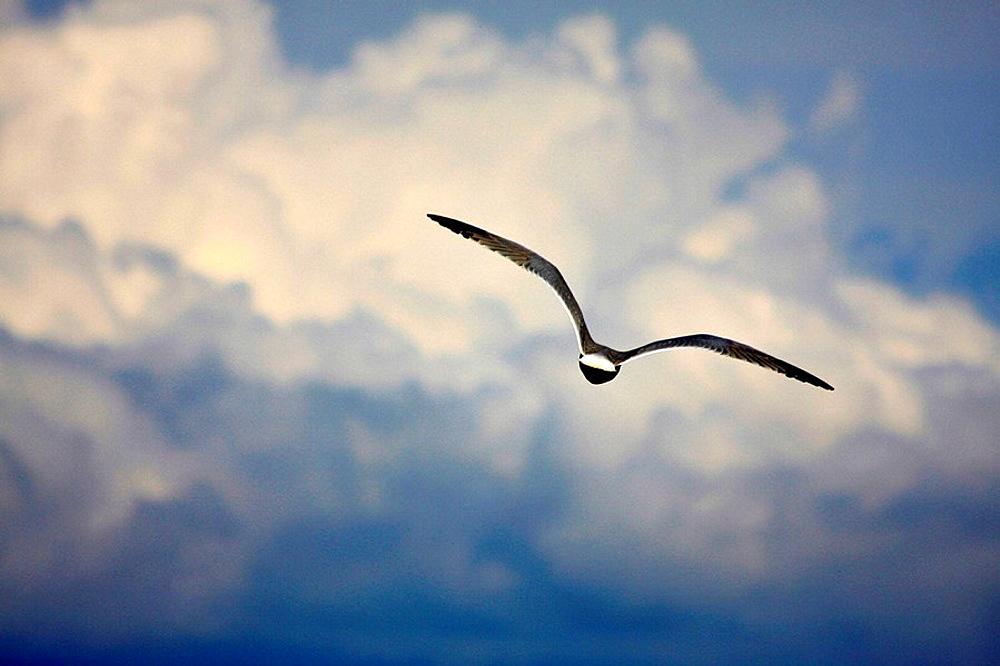 Seabird flying over river Ebro delta, Tarragona province, Catalonia, Spain