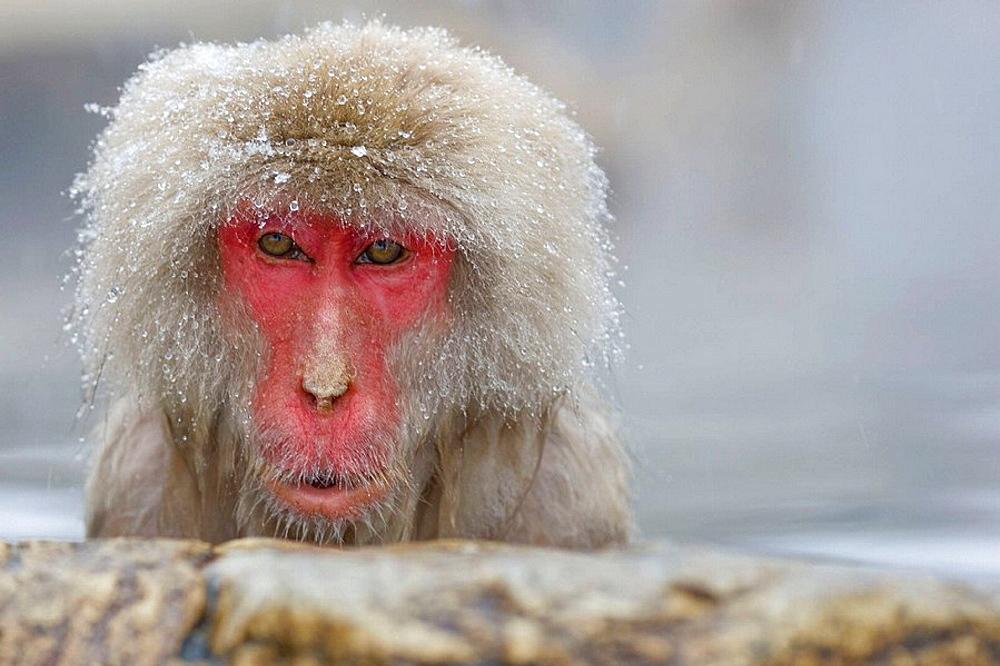 Japanese Macaque Macaca fuscata getting warm in the thermal springs protecting itself of the snow, Jigokudani Yaen-koen, Nagano Prefecture Japan