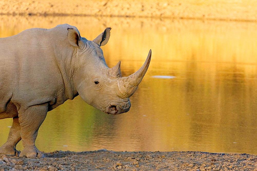 White  rhinoceros (Ceratotherium simun), Mokolodi Game Reserve, Botswana