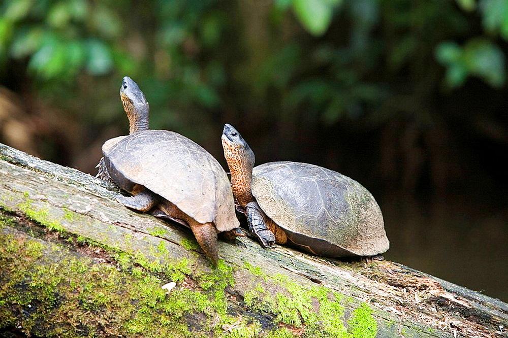 Costa Rica National Park Tortuguero Turtles