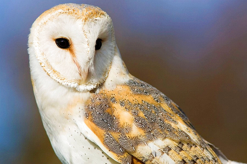 Barn Owl Tyto alba close portrait, controlled conditions