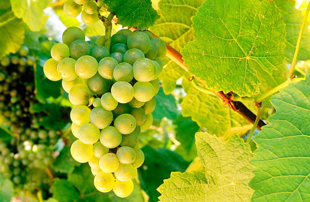 Grapes, txakoli vineyards, Getaria, Guipuzcoa, Euskadi, Spain