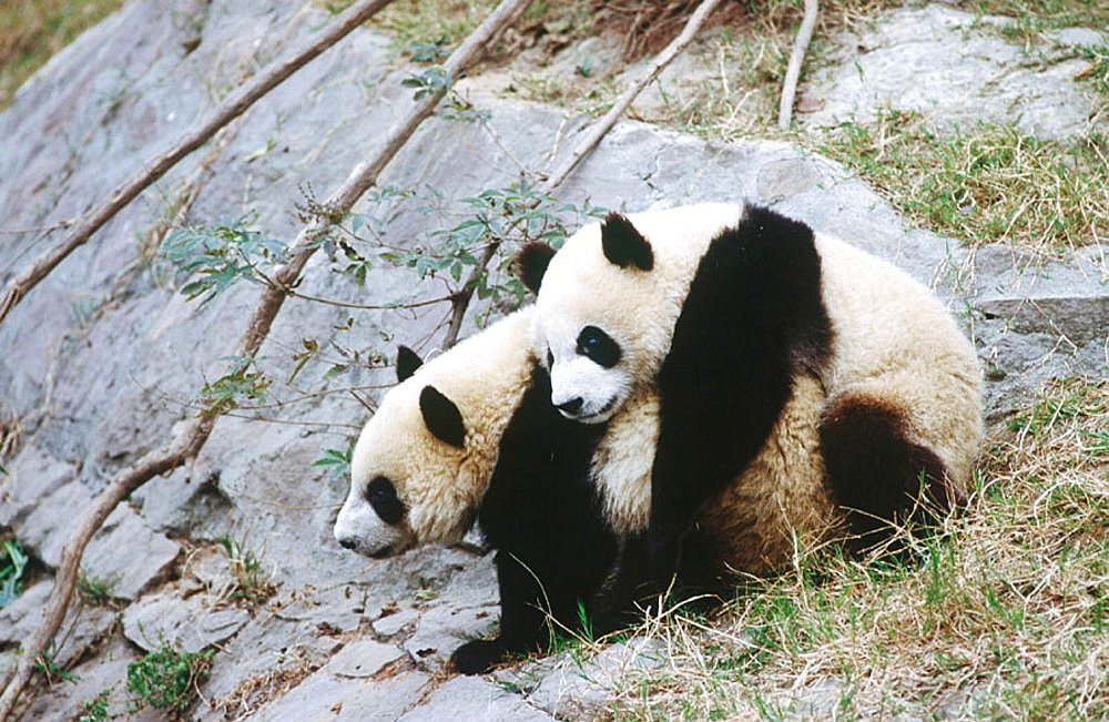 Giant Panda Breeding Research Base, Giant Panda (Ailuropoda Melanoleuca), Near Chengdu, Sichuan province, China - 817-236357