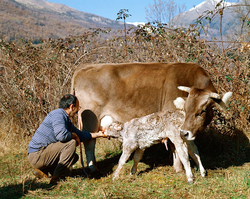 Cow with new born calf, Huesca province, Benasque Valley, Pyrenees Mountains, Spain